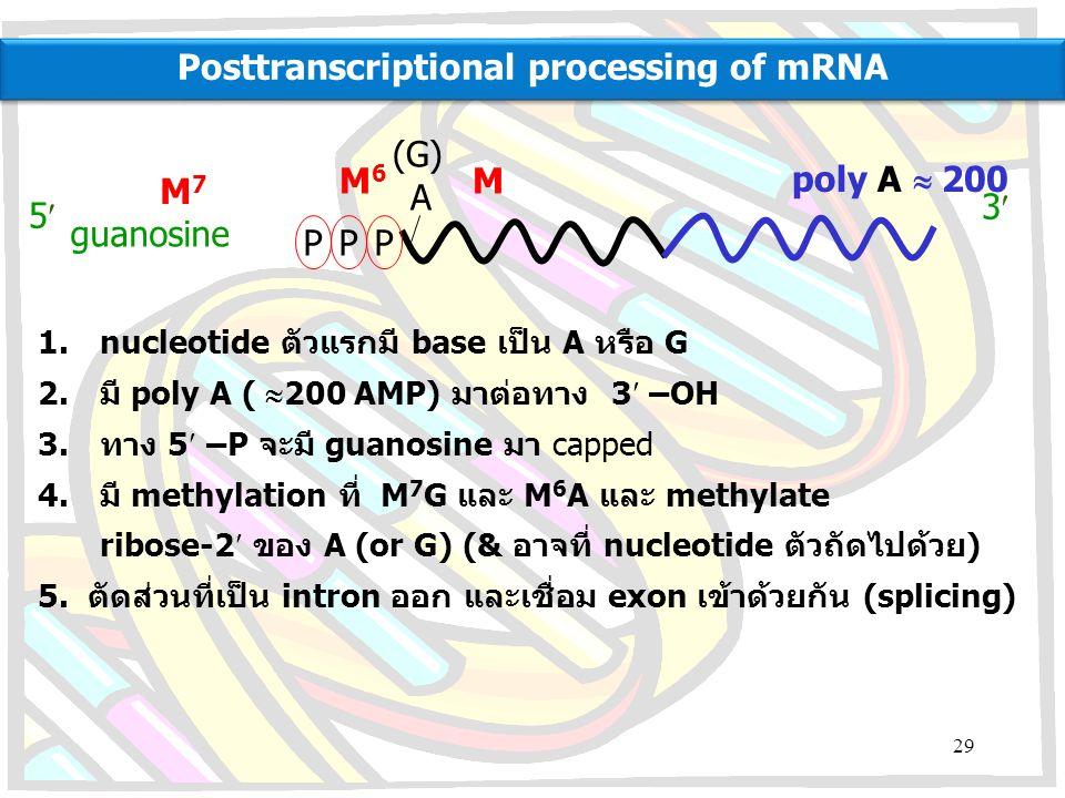PPP A (G) 5 3 poly A  200 guanosine M7M7 M6M6 M 1.nucleotide ตัวแรกมี base เป็น A หรือ G 2.มี poly A (  200 AMP) มาต่อทาง 3 –OH 3.ทาง 5 –P จะมี gua