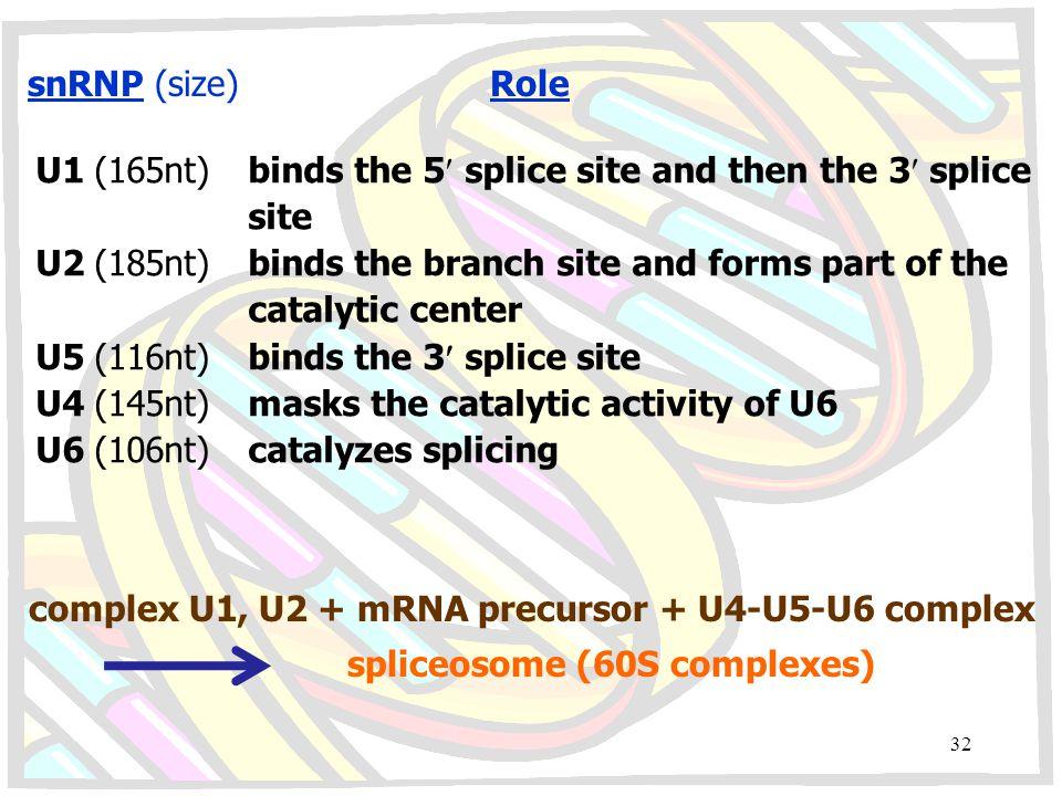snRNP (size) Role U1 (165nt)binds the 5 splice site and then the 3 splice site U2 (185nt)binds the branch site and forms part of the catalytic center U5 (116nt)binds the 3 splice site U4 (145nt)masks the catalytic activity of U6 U6 (106nt)catalyzes splicing complex U1, U2 + mRNA precursor + U4-U5-U6 complex spliceosome (60S complexes) 32