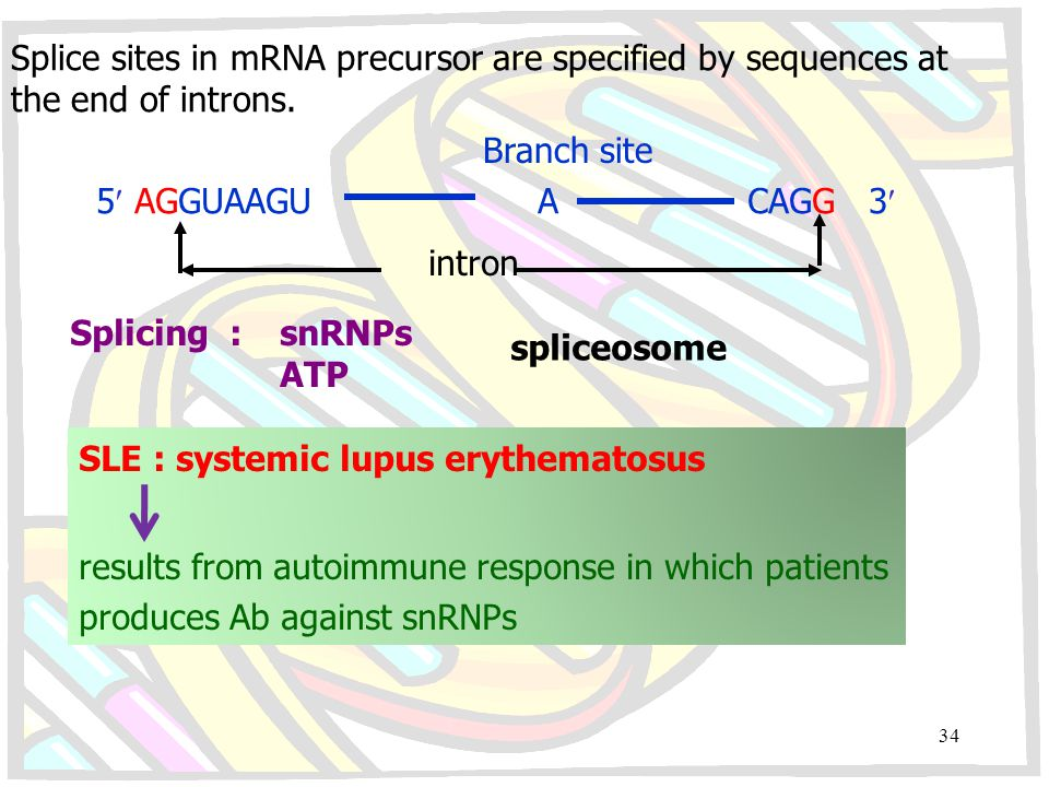 Splice sites in mRNA precursor are specified by sequences at the end of introns. 5 AGGUAAGU A CAGG 3 Branch site intron Splicing :snRNPs ATP spliceoso
