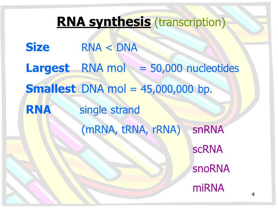 RNA synthesis (transcription) Size RNA < DNA LargestRNA mol = 50,000 nucleotides SmallestDNA mol = 45,000,000 bp. RNA single strand (mRNA, tRNA, rRNA)
