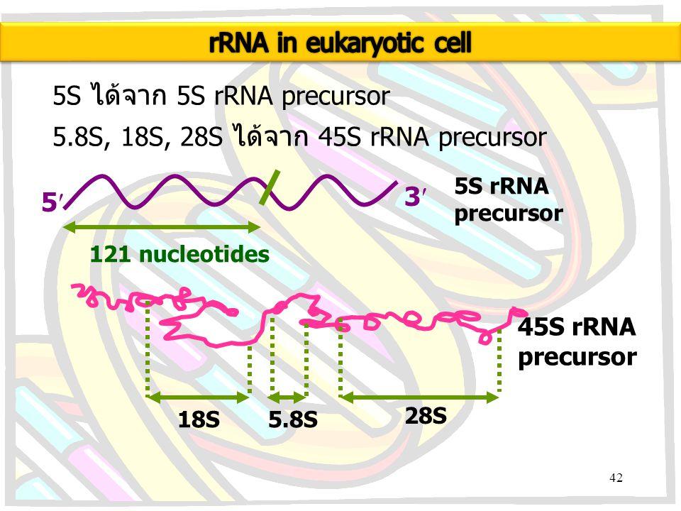 5S ได้จาก 5S rRNA precursor 5.8S, 18S, 28S ได้จาก 45S rRNA precursor 5 3 121 nucleotides 5S rRNA precursor 18S5.8S 28S 45S rRNA precursor 42