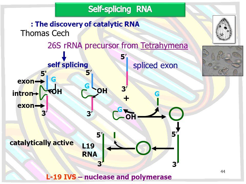 : The discovery of catalytic RNA Thomas Cech 26S rRNA precursor from Tetrahymena self splicing 5'5' 3 exon intron exon 5 3 G OH 5 3 spliced exon + OH