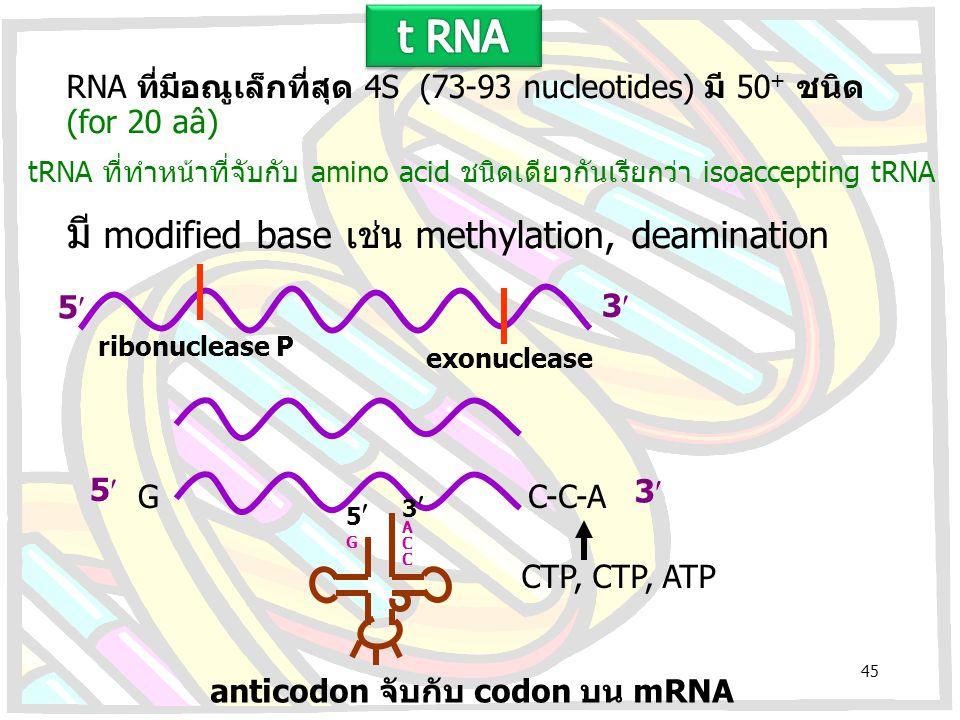 RNA ที่มีอณูเล็กที่สุด 4S (73-93 nucleotides) มี 50 + ชนิด (for 20 aâ) มี modified base เช่น methylation, deamination tRNA ที่ทำหน้าที่จับกับ amino ac