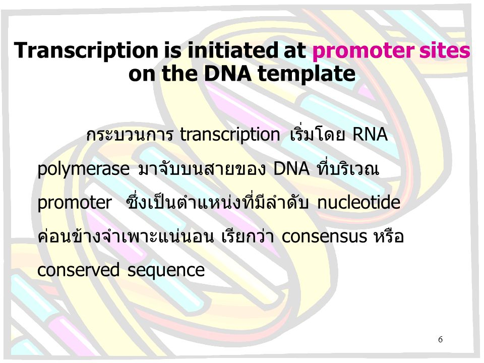 Transcription is initiated at promoter sites on the DNA template กระบวนการ transcription เริ่มโดย RNA polymerase มาจับบนสายของ DNA ที่บริเวณ promoter