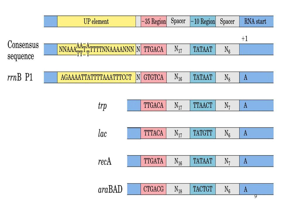 DNA dependent RNA polymerase -form phosphodiester bond ทิศทาง 5 3 -มี 6 subunits α 2 ββ σω α 2 ββ = core enzyme σ sigma factor 20