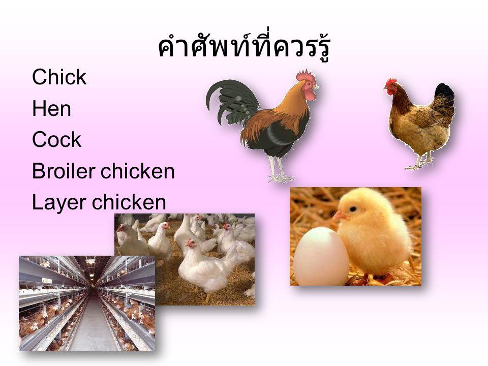 คำศัพท์ที่ควรรู้ Chick Hen Cock Broiler chicken Layer chicken