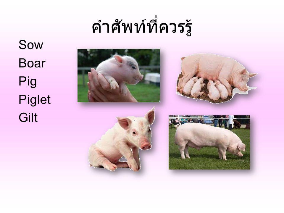 คำศัพท์ที่ควรรู้ Sow Boar Pig Piglet Gilt