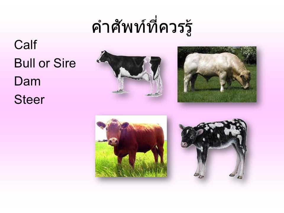 คำศัพท์ที่ควรรู้ Calf Bull or Sire Dam Steer