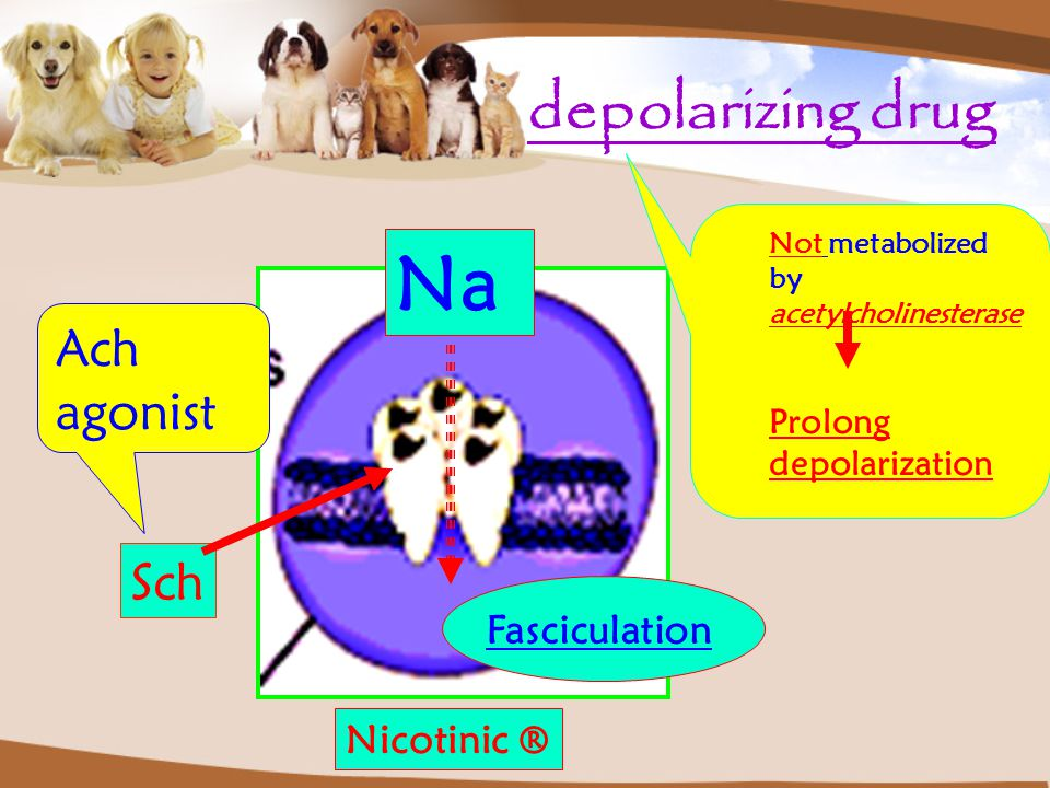 depolarizing drug Nicotinic ® Sch Na Not metabolized by acetylcholinesterase Prolong depolarization Ach agonist Fasciculation