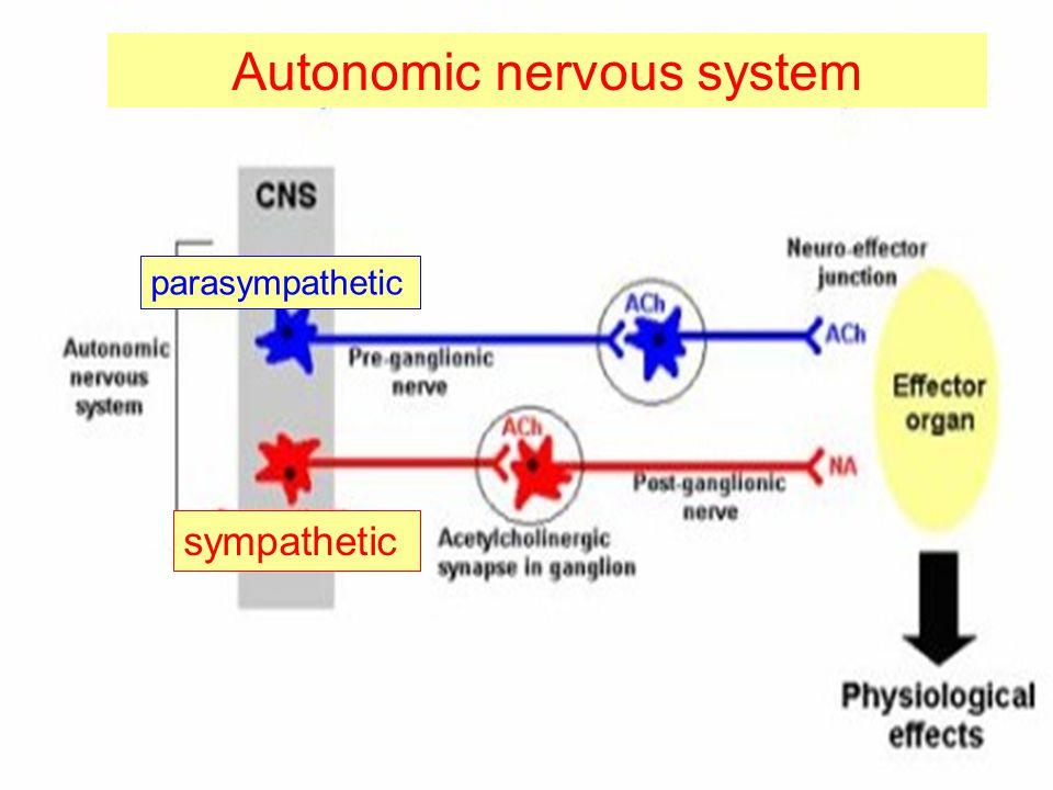 Autonomic nervous system parasympathetic sympathetic