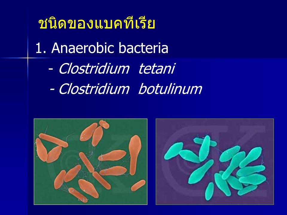 ชนิดของแบคทีเรีย 1. Anaerobic bacteria - Clostridium tetani - Clostridium botulinum