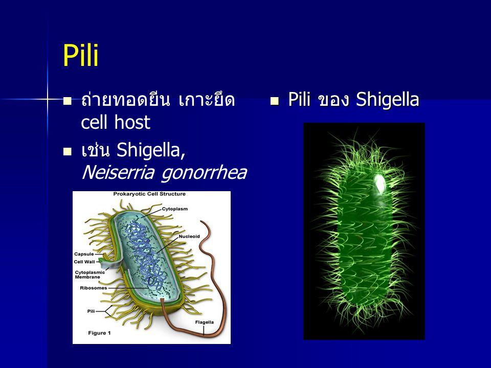 Pili ถ่ายทอดยีน เกาะยึด cell host เช่น Shigella, Neiserria gonorrhea Pili ของ Shigella Pili ของ Shigella