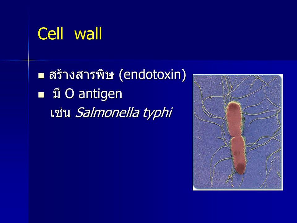 Cell wall สร้างสารพิษ (endotoxin) สร้างสารพิษ (endotoxin) มี O antigen มี O antigen เช่น Salmonella typhi เช่น Salmonella typhi