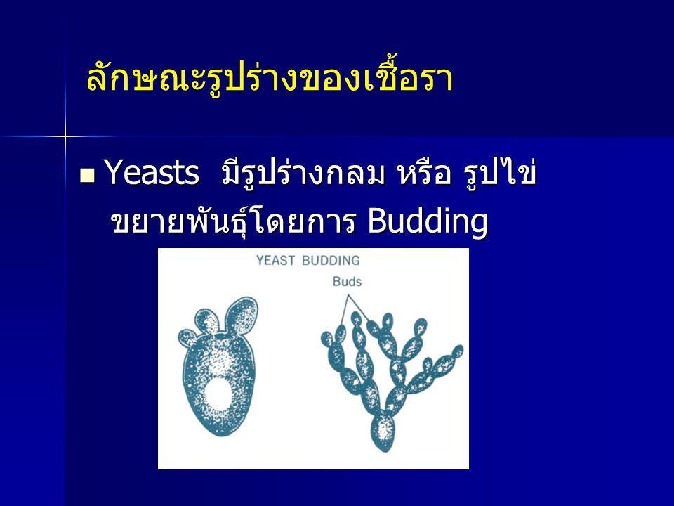 ลักษณะรูปร่างของเชื้อรา Yeasts มีรูปร่างกลม หรือ รูปไข่ Yeasts มีรูปร่างกลม หรือ รูปไข่ ขยายพันธุ์โดยการ Budding ขยายพันธุ์โดยการ Budding