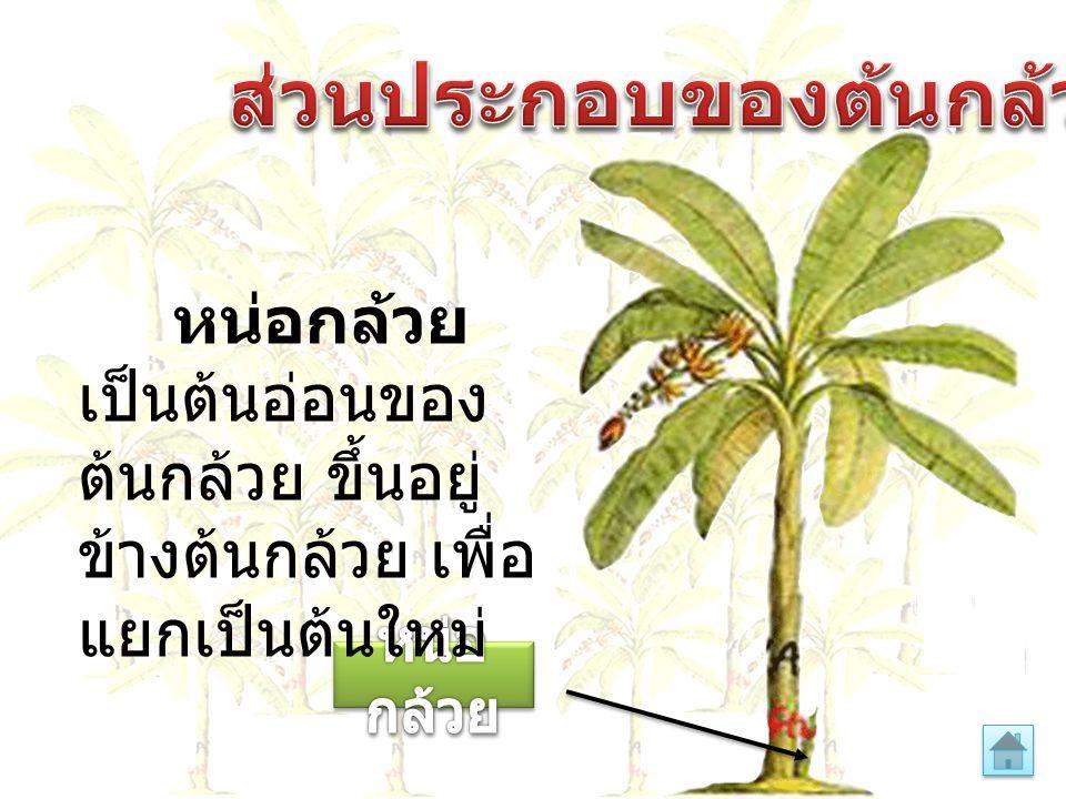หน่อกล้วย เป็นต้นอ่อนของ ต้นกล้วย ขึ้นอยู่ ข้างต้นกล้วย เพื่อ แยกเป็นต้นใหม่