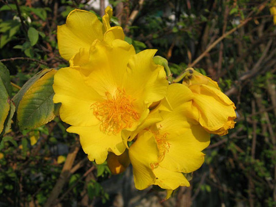 รางวัลที่ 3 ชื่อวิทยาศาสตร์ : Cochlospermum regium (Mart. &Schrank) Pilg. ชื่อวงศ์ : Bixaceae ชื่อสามัญ : Silk cotton tree, Yellow cotton tree ชื่อพื้