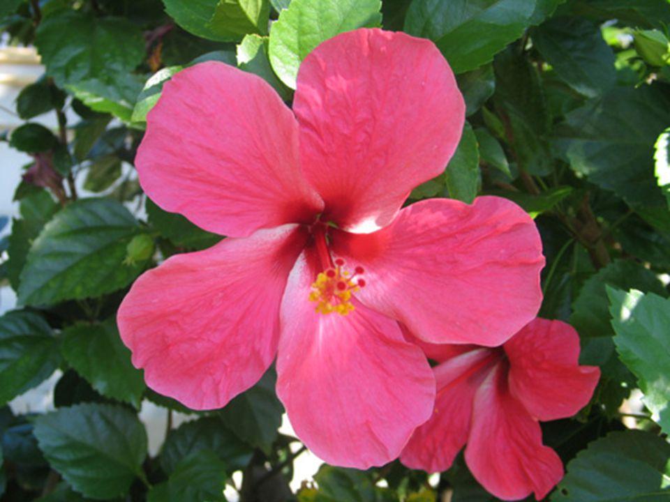 รางวัลที่ 3 ชื่อวิทยาศาสตร์ : Hibiscus spp. and hybrid ชื่อวงศ์ : Malvaceae ชนิดพืช [Plant Type] : ไม้พุ่ม ขนาด [Size] : สูง 2-3 เมตร สีดอก [Flower Co