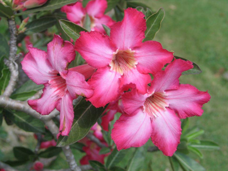 รางวัลที่ 3 ชื่อวิทยาศาสตร์ : Adenium obesum (Forssk.) Roem. & Schult. ชื่อวงศ์ : Apocynaceae ชื่อสามัญ : Desert rose, Mock Azalea, Pink bignonia, Imp