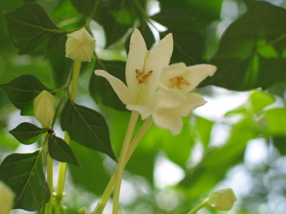 รางวัลที่ 3 ชื่อวิทยาศาสตร์ : Nerium oleander L.