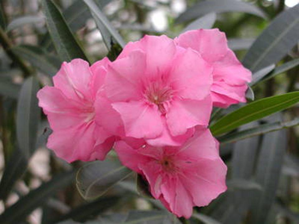 รางวัลที่ 3 ชื่อวิทยาศาสตร์ : Nerium oleander L. ชื่อวงศ์ : Apocynaceae ชื่อสามัญ : Sweet oleander, Rose bay, Oleander ชื่อพื้นเมือง : ยี่โถฝรั่ง สีดอ