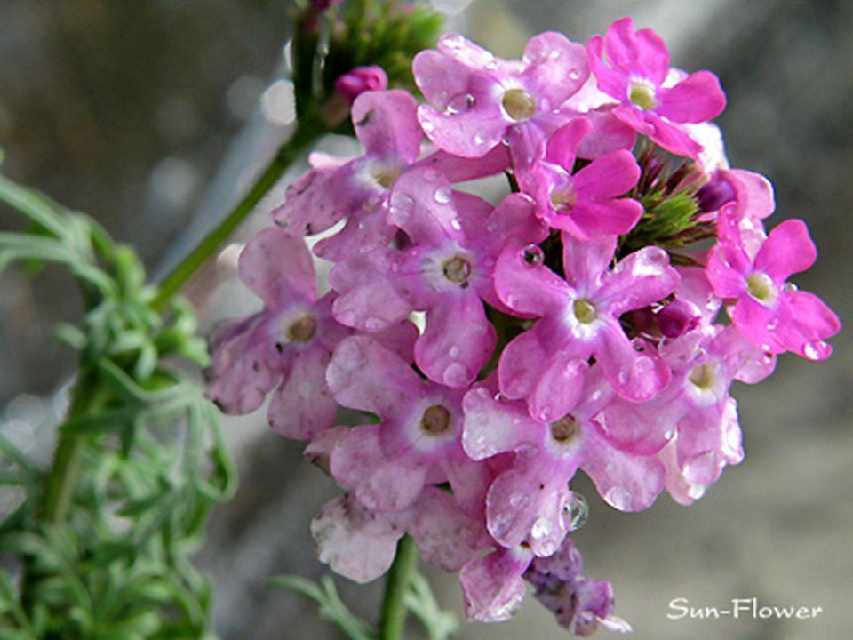 รางวัลที่ 3 ชื่อวิทยาศาสตร์ : Verbena x hybrida Groenl. & Ruempl. ชื่อวงศ์ : Verbenaceae ชื่อสามัญ : Common garden verbena, Florist's verbena, Vervain