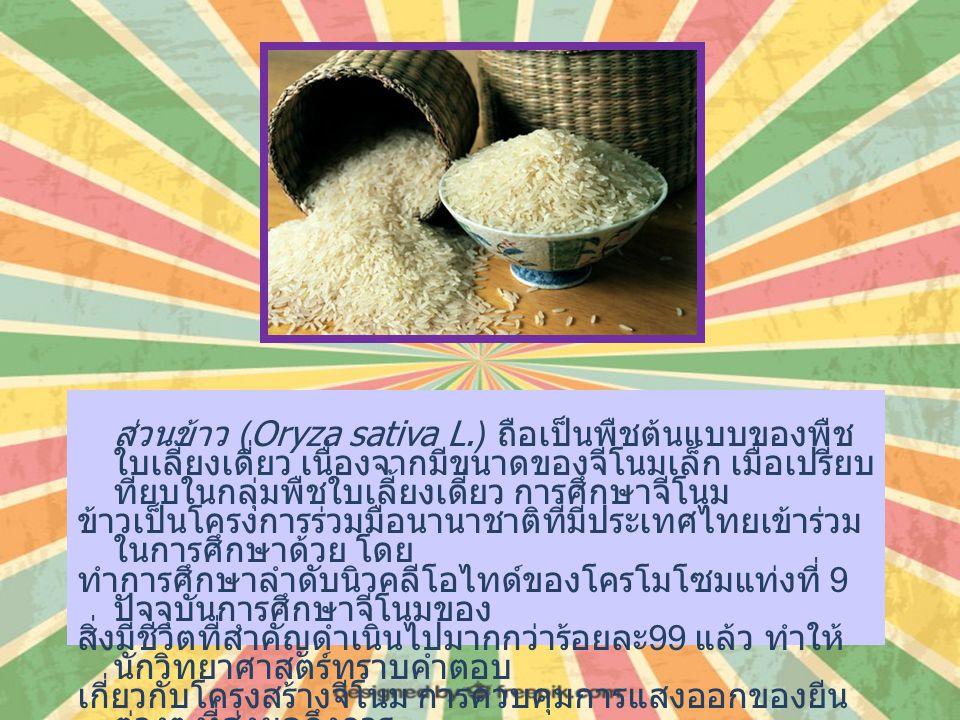 ส่วนข้าว (Oryza sativa L.) ถือเป็นพืชต้นแบบของพืช ใบเลี้ยงเดี่ยว เนื่องจากมีขนาดของจีโนมเล็ก เมื่อเปรียบ ทียบในกลุ่มพืชใบเลี้ยงเดี่ยว การศึกษาจีโนม ข้าวเป็นโครงการร่วมมือนานาชาติที่มีประเทศไทยเข้าร่วม ในการศึกษาด้วย โดย ทำการศึกษาลำดับนิวคลีโอไทด์ของโครโมโซมแท่งที่ 9 ปัจจุบันการศึกษาจีโนมของ สิ่งมีชีวิตที่สำคัญดำเนินไปมากกว่าร้อยละ 99 แล้ว ทำให้ นักวิทยาศาสตร์ทราบคำตอบ เกี่ยวกับโครงสร้างจีโนม การควบคุมการแสงออกของยีน ต่างๆ ที่ส่งผลถึงการ เจริญเติบโตและพัฒนา ตลอดจนวิวัฒนาการของสิ่งมีชีวิต