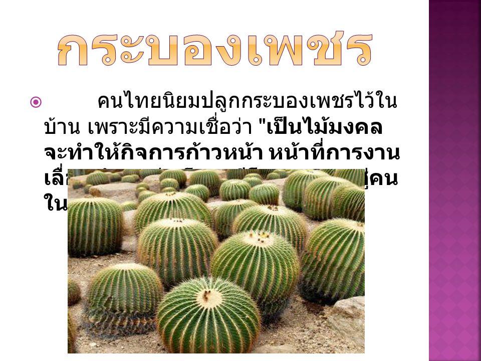  คนไทยนิยมปลูกกระบองเพชรไว้ใน บ้าน เพราะมีความเชื่อว่า