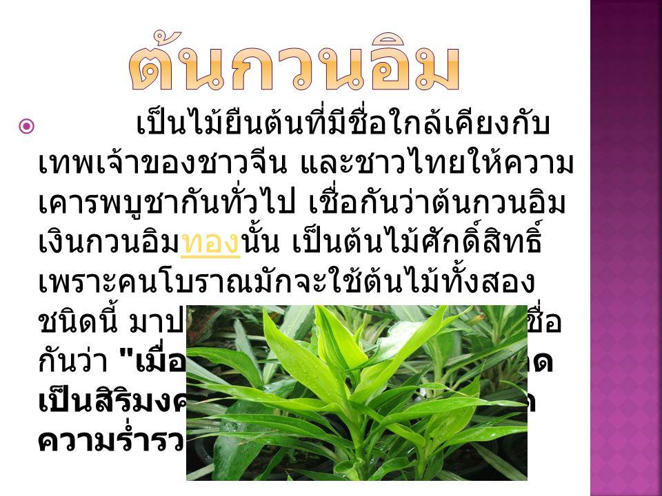  เป็นไม้ยืนต้นที่มีชื่อใกล้เคียงกับ เทพเจ้าของชาวจีน และชาวไทยให้ความ เคารพบูชากันทั่วไป เชื่อกันว่าต้นกวนอิม เงินกวนอิมทองนั้น เป็นต้นไม้ศักดิ์สิทธิ