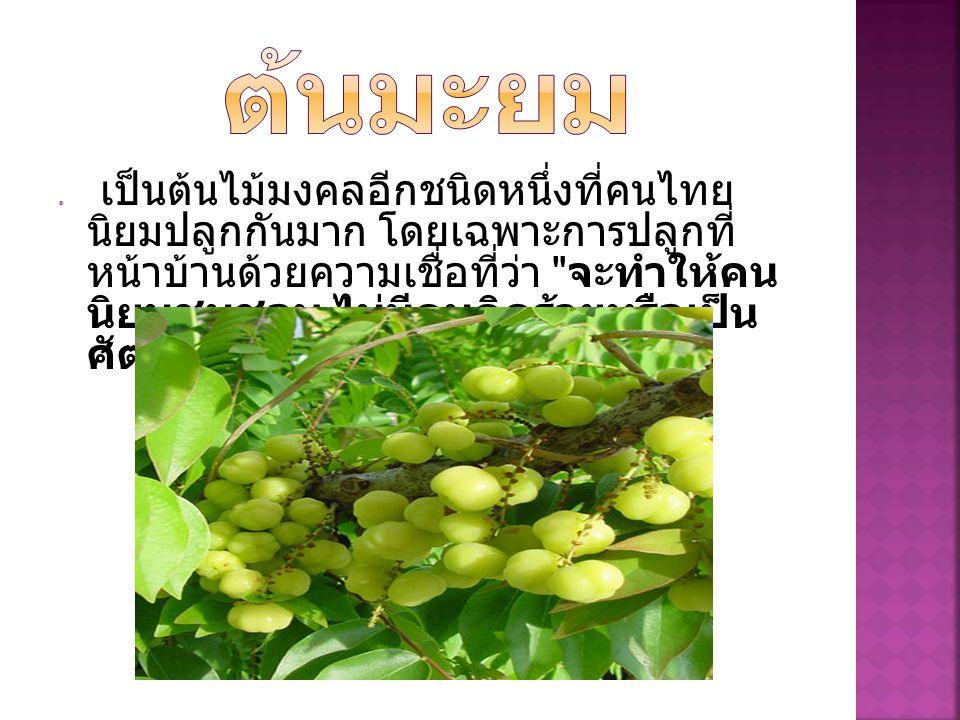  เป็นต้นไม้มงคลอีกชนิดหนึ่งที่คนไทย นิยมปลูกกันมาก โดยเฉพาะการปลูกที่ หน้าบ้านด้วยความเชื่อที่ว่า