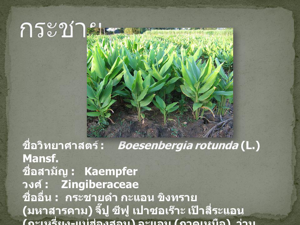 ชื่อวิทยาศาสตร์ : Boesenbergia rotunda (L.) Mansf. ชื่อสามัญ : Kaempfer วงศ์ : Zingiberaceae ชื่ออื่น : กระชายดำ กะแอน ขิงทราย ( มหาสารคาม ) จี๊ปู ซีฟ