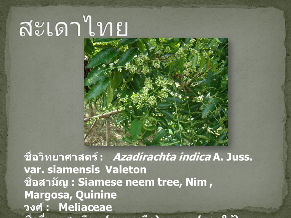 ชื่อวิทยาศาสตร์ : Azadirachta indica A. Juss. var. siamensis Valeton ชื่อสามัญ : Siamese neem tree, Nim, Margosa, Quinine วงศ์ : Meliaceae ชื่ออื่น :