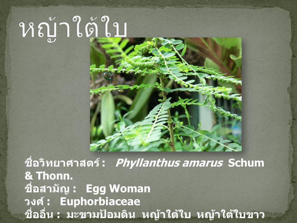 ชื่อวิทยาศาสตร์ : Phyllanthus amarus Schum & Thonn. ชื่อสามัญ : Egg Woman วงศ์ : Euphorbiaceae ชื่ออื่น : มะขามป้อมดิน หญ้าใต้ใบ หญ้าใต้ใบขาว