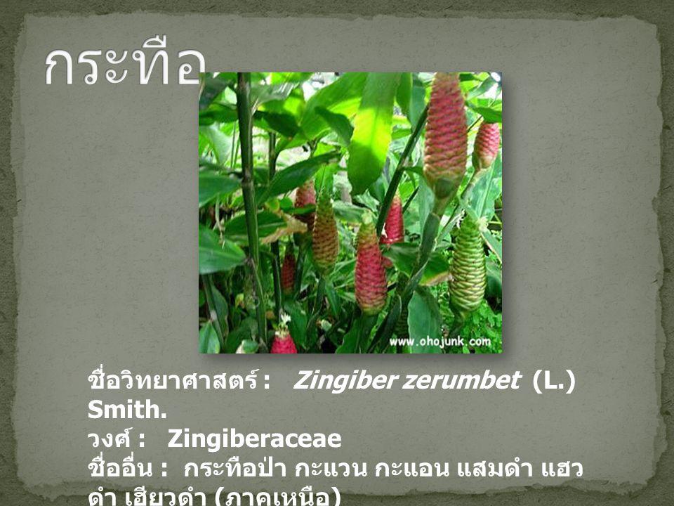 ชื่อวิทยาศาสตร์ : Zingiber zerumbet (L.) Smith. วงศ์ : Zingiberaceae ชื่ออื่น : กระทือป่า กะแวน กะแอน แสมดำ แฮว ดำ เฮียวดำ ( ภาคเหนือ ) เฮียวแดง ( แม่
