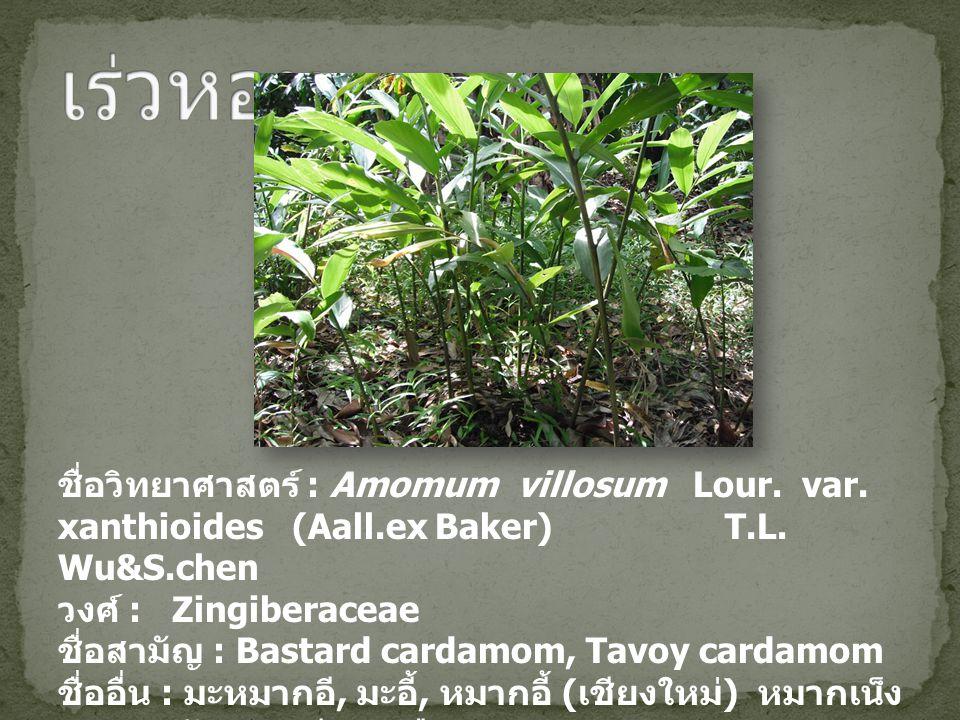 ชื่อวิทยาศาสตร์ : Amomum villosum Lour. var. xanthioides (Aall.ex Baker) T.L. Wu&S.chen วงศ์ : Zingiberaceae ชื่อสามัญ : Bastard cardamom, Tavoy carda