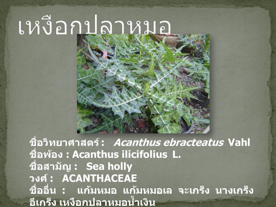 ชื่อวิทยาศาสตร์ : Acanthus ebracteatus Vahl ชื่อพ้อง : Acanthus ilicifolius L. ชื่อสามัญ : Sea holly วงศ์ : ACANTHACEAE ชื่ออื่น : แก้มหมอ แก้มหมอเล จ