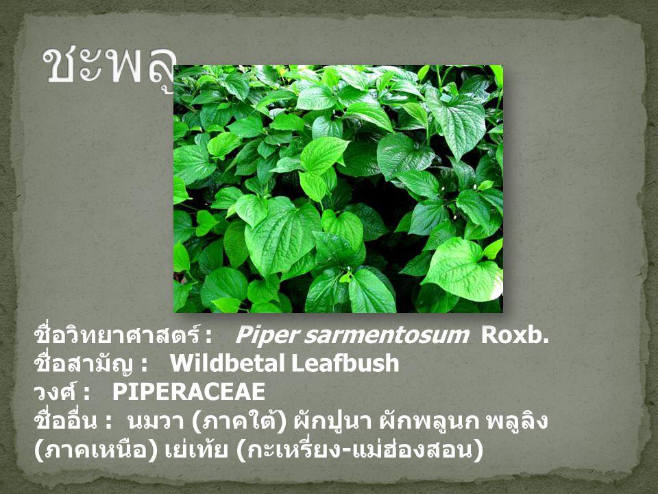 ชื่อวิทยาศาสตร์ : Piper sarmentosum Roxb. ชื่อสามัญ : Wildbetal Leafbush วงศ์ : PIPERACEAE ชื่ออื่น : นมวา ( ภาคใต้ ) ผักปูนา ผักพลูนก พลูลิง ( ภาคเหน