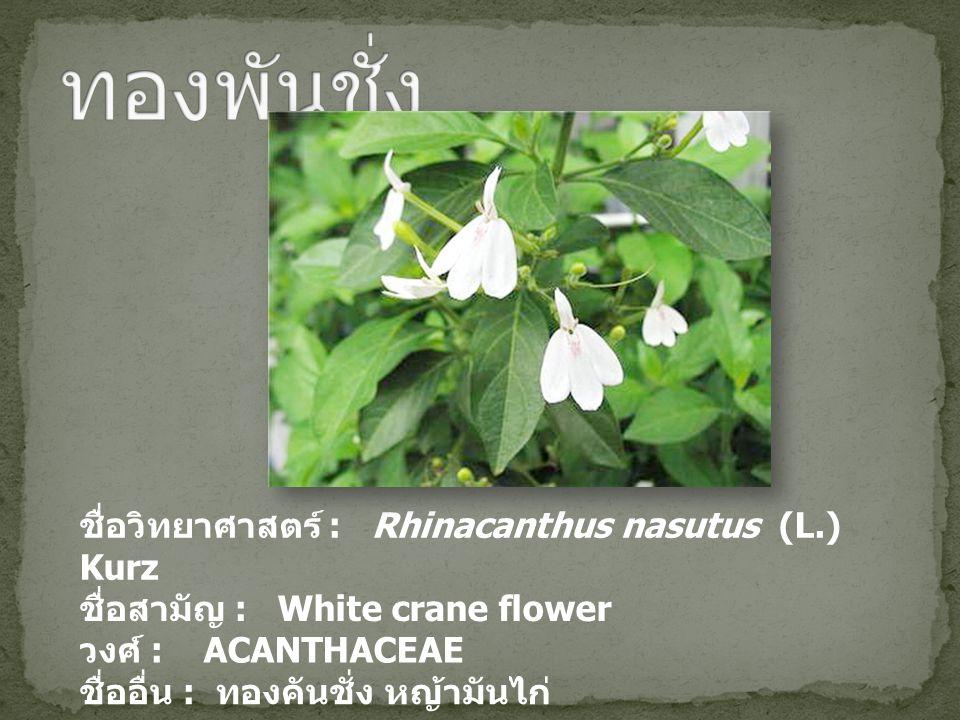 ชื่อวิทยาศาสตร์ : Rhinacanthus nasutus (L.) Kurz ชื่อสามัญ : White crane flower วงศ์ : ACANTHACEAE ชื่ออื่น : ทองคันชั่ง หญ้ามันไก่