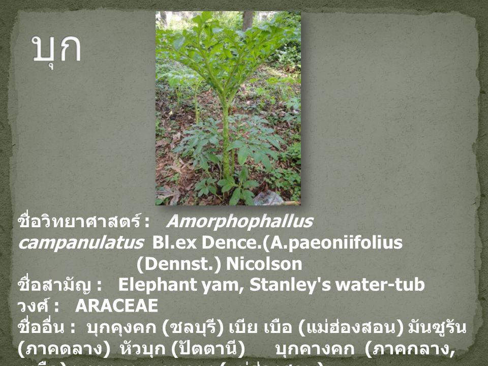ชื่อวิทยาศาสตร์ : Amorphophallus campanulatus Bl.ex Dence.(A.paeoniifolius (Dennst.) Nicolson ชื่อสามัญ : Elephant yam, Stanley s water-tub วงศ์ : ARACEAE ชื่ออื่น : บุกคุงคก ( ชลบุรี ) เบีย เบือ ( แม่ฮ่องสอน ) มันซูรัน ( ภาคดลาง ) หัวบุก ( ปัตตานี ) บุกคางคก ( ภาคกลาง, เหนือ ) บุกหนาม บุกหลวง ( แม่ฮ่องสอน )