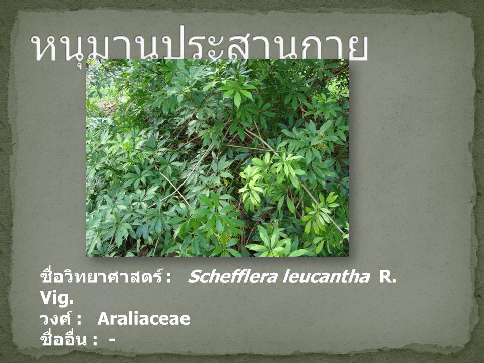 ชื่อวิทยาศาสตร์ : Schefflera leucantha R. Vig. วงศ์ : Araliaceae ชื่ออื่น : -
