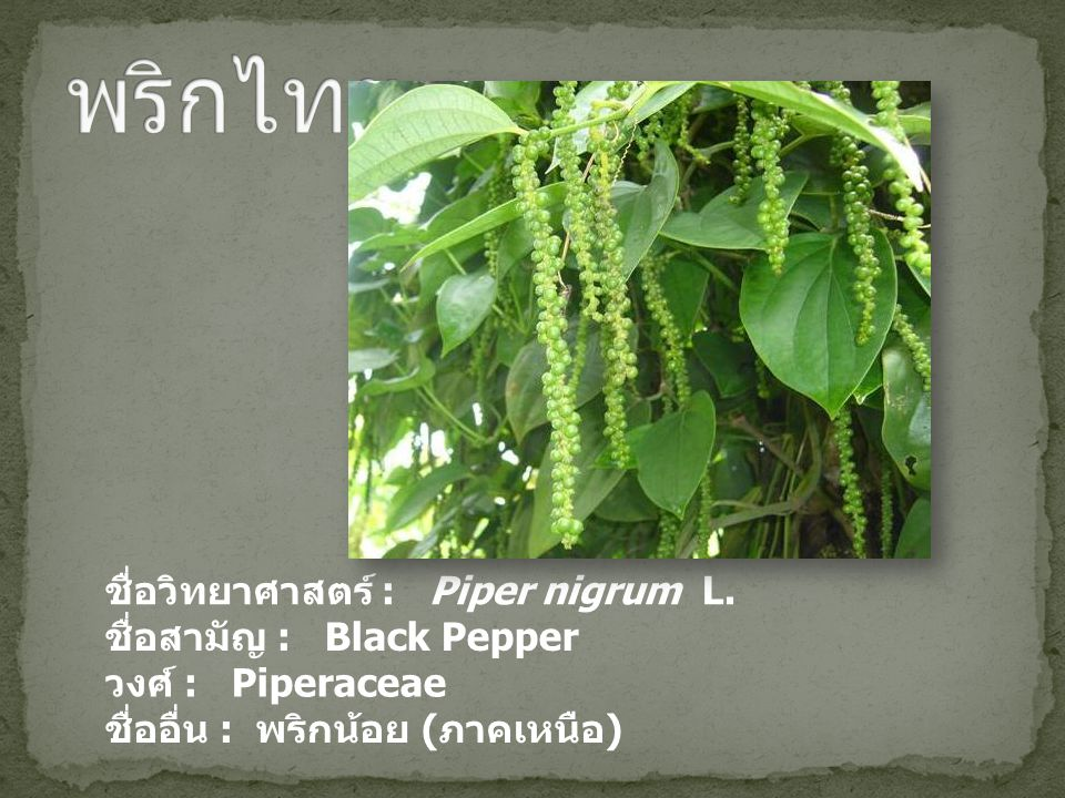 ชื่อวิทยาศาสตร์ : Piper nigrum L. ชื่อสามัญ : Black Pepper วงศ์ : Piperaceae ชื่ออื่น : พริกน้อย ( ภาคเหนือ )