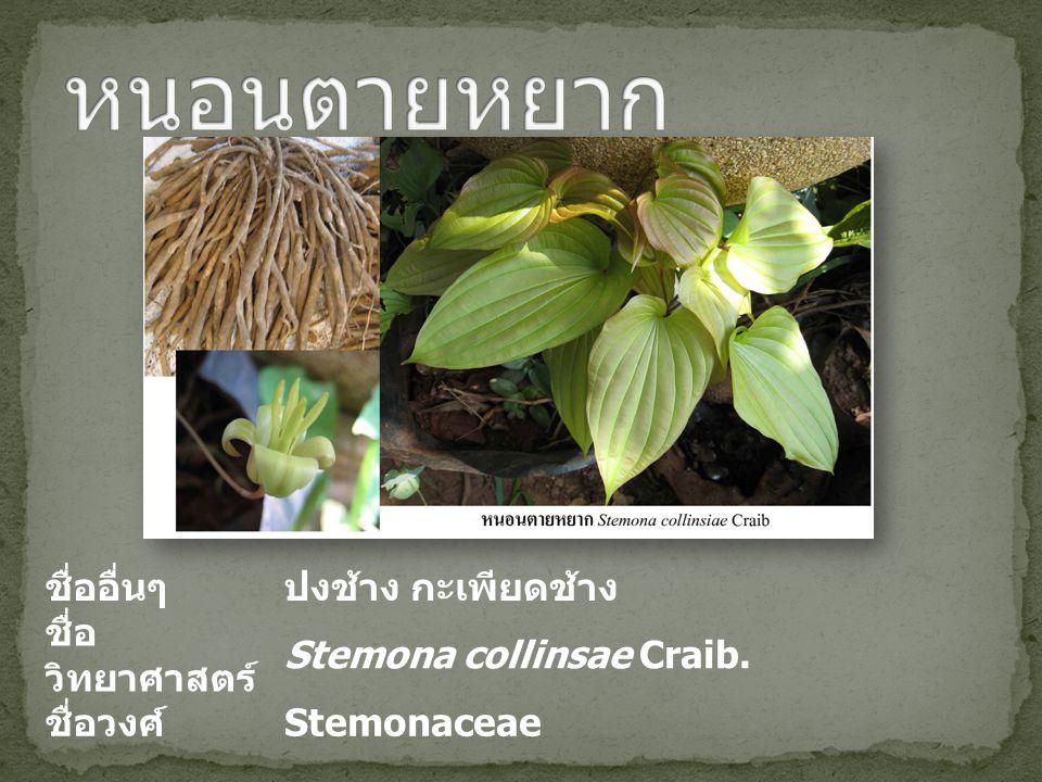ชื่ออื่นๆปงช้าง กะเพียดช้าง ชื่อ วิทยาศาสตร์ Stemona collinsae Craib. ชื่อวงศ์ Stemonaceae
