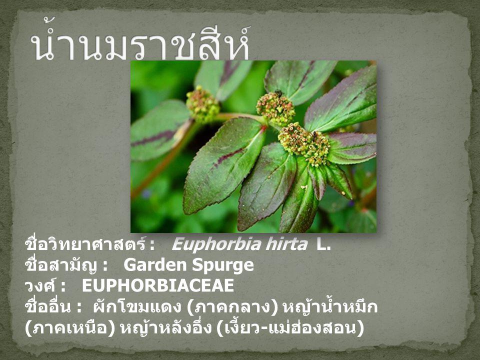 ชื่อวิทยาศาสตร์ : Euphorbia hirta L. ชื่อสามัญ : Garden Spurge วงศ์ : EUPHORBIACEAE ชื่ออื่น : ผักโขมแดง ( ภาคกลาง ) หญ้าน้ำหมึก ( ภาคเหนือ ) หญ้าหลัง