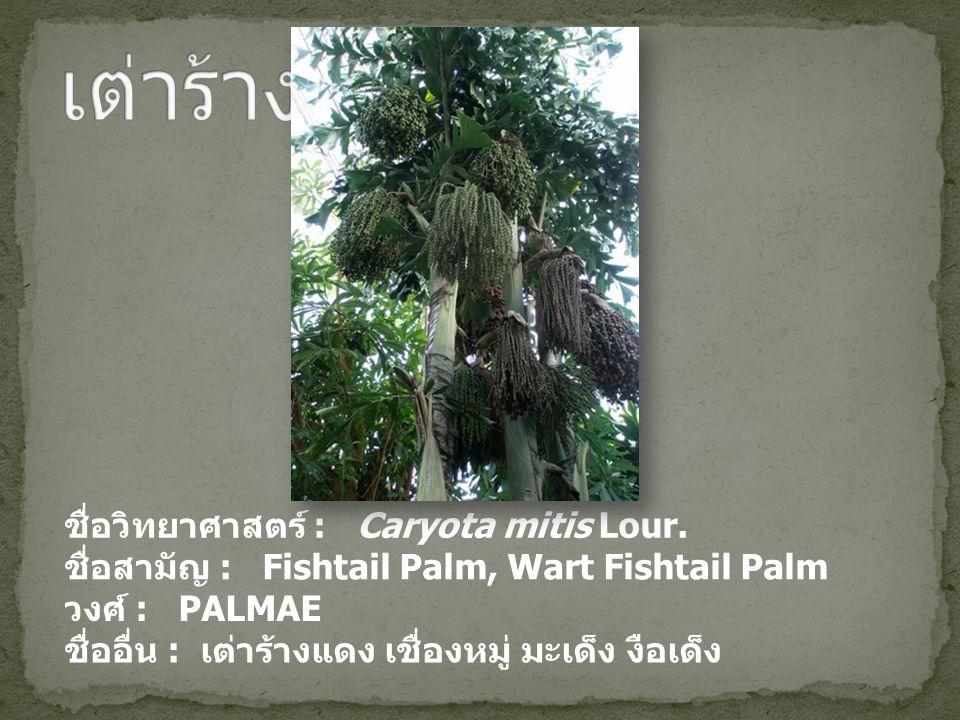 ชื่อวิทยาศาสตร์ : Caryota mitis Lour. ชื่อสามัญ : Fishtail Palm, Wart Fishtail Palm วงศ์ : PALMAE ชื่ออื่น : เต่าร้างแดง เชื่องหมู่ มะเด็ง งือเด็ง