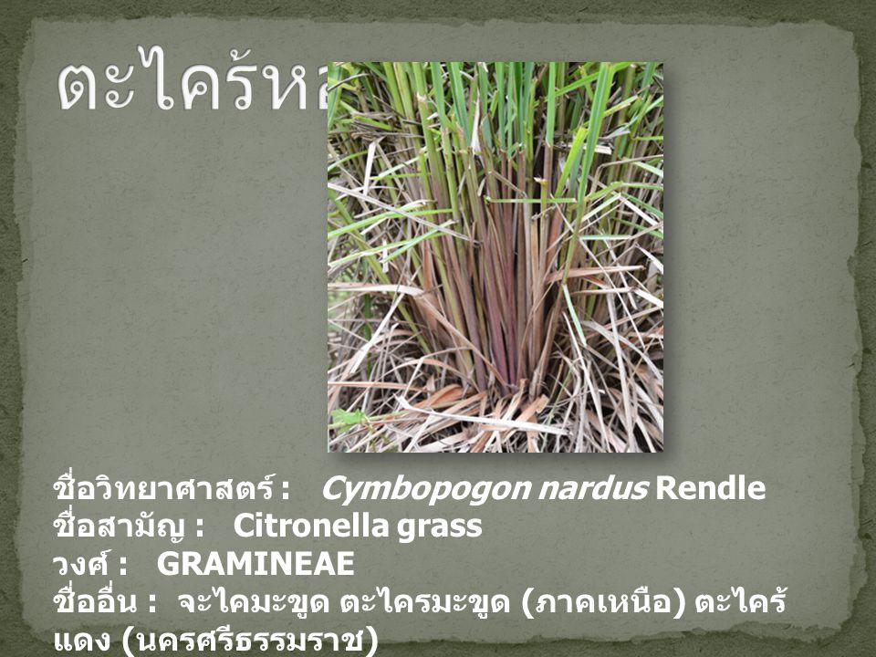 ชื่อวิทยาศาสตร์ : Cymbopogon nardus Rendle ชื่อสามัญ : Citronella grass วงศ์ : GRAMINEAE ชื่ออื่น : จะไคมะขูด ตะไครมะขูด ( ภาคเหนือ ) ตะไคร้ แดง ( นครศรีธรรมราช )