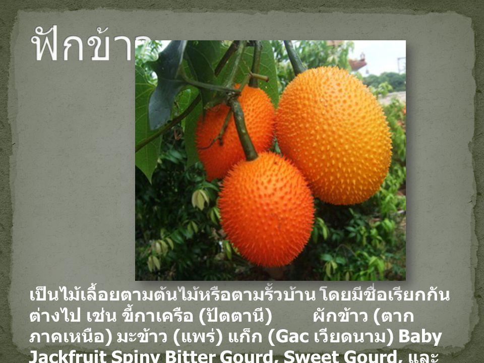 เป็นไม้เลื้อยตามต้นไม้หรือตามรั้วบ้าน โดยมีชื่อเรียกกัน ต่างไป เช่น ขี้กาเครือ ( ปัตตานี ) ผักข้าว ( ตาก ภาคเหนือ ) มะข้าว ( แพร่ ) แก็ก (Gac เวียดนาม