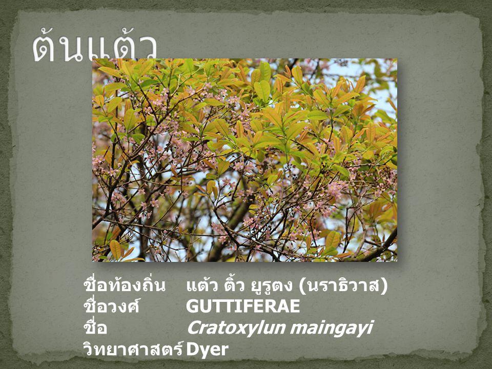 ชื่อท้องถิ่นแต้ว ติ้ว ยูรูตง ( นราธิวาส ) ชื่อวงศ์ GUTTIFERAE ชื่อ วิทยาศาสตร์ Cratoxylun maingayi Dyer