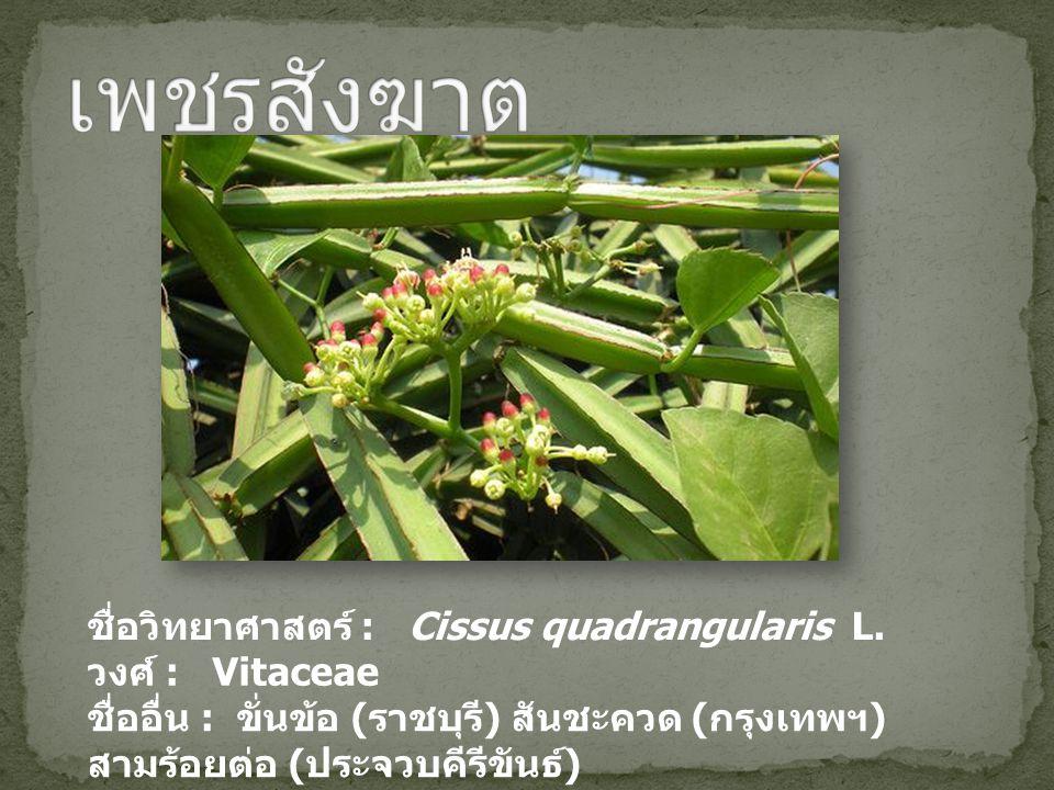 ชื่อวิทยาศาสตร์ : Cissus quadrangularis L. วงศ์ : Vitaceae ชื่ออื่น : ขั่นข้อ ( ราชบุรี ) สันชะควด ( กรุงเทพฯ ) สามร้อยต่อ ( ประจวบคีรีขันธ์ )