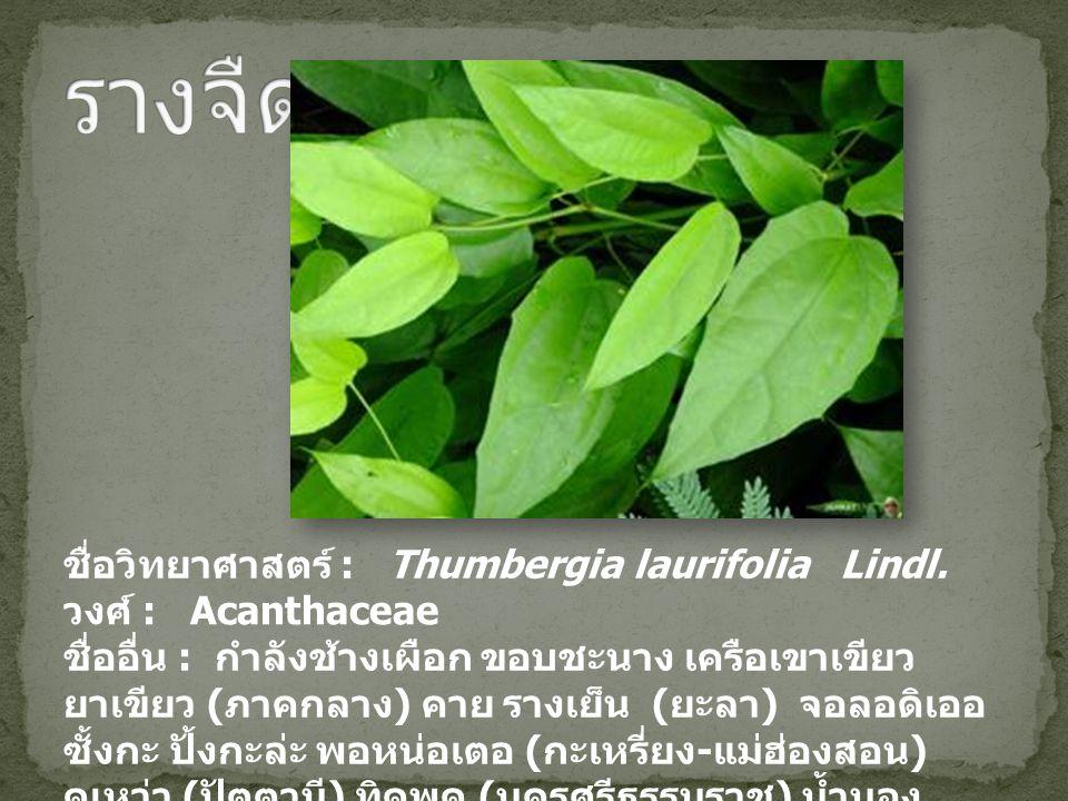 ชื่อวิทยาศาสตร์ : Thumbergia laurifolia Lindl. วงศ์ : Acanthaceae ชื่ออื่น : กำลังช้างเผือก ขอบชะนาง เครือเขาเขียว ยาเขียว ( ภาคกลาง ) คาย รางเย็น ( ย