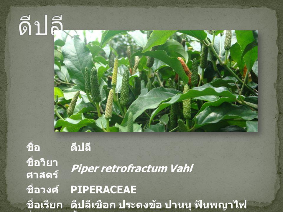 ชื่อดีปลี ชื่อวิยา ศาสตร์ Piper retrofractum Vahl ชื่อวงศ์ PIPERACEAE ชื่อเรียก อื่น ดีปลีเชือก ประดงข้อ ปานนุ ฟันพญาไฟ บี้ฮวด Long Pepper