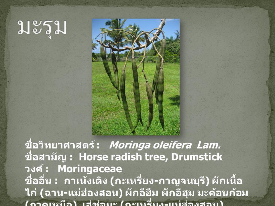 ชื่อวิทยาศาสตร์ : Moringa oleifera Lam. ชื่อสามัญ : Horse radish tree, Drumstick วงศ์ : Moringaceae ชื่ออื่น : กาเน้งเดิง ( กะเหรี่ยง - กาญจนบุรี ) ผั